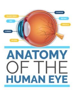 Anatomy of the Human Eye Infographic Title Image